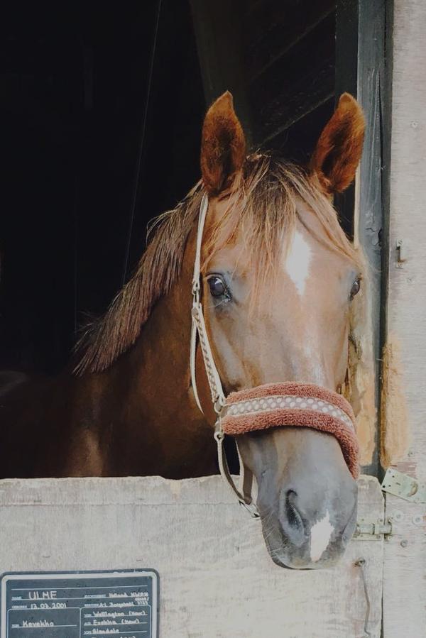 Pferd schaut aus der Box
