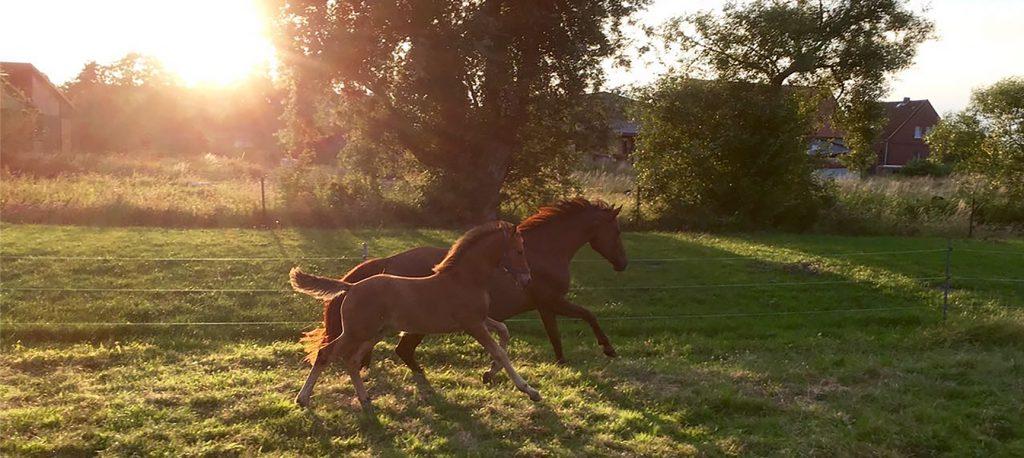 Braune Stute und Fohlen galoppieren über die Weide