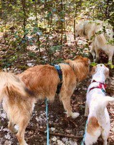 Zwei Hunde stehen im Wald und gucken einem dritten neugierig hinterher